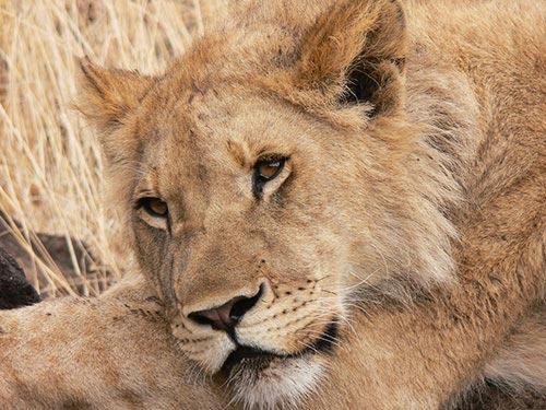 Lionne lors d'un safari à pied