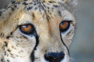 Léopard safari en Afrique