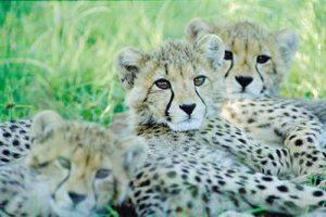 Bébé léopard Botswana