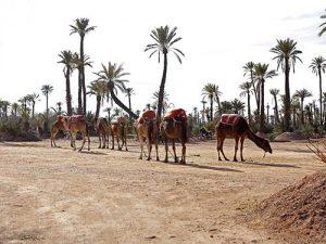Marrakech désert dromadaires